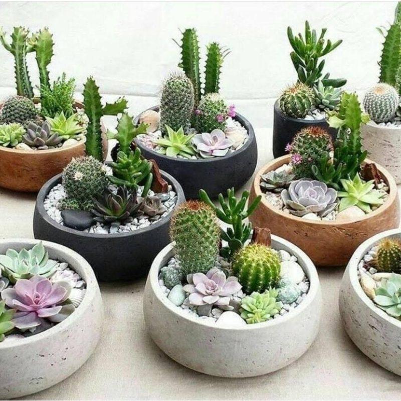 Cactus y suculentas_mazzolino